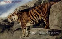 zoo001098 - Malay Tiger, New York Zoological Park New York, USA Postcard Post Cards Old Vintage Antique