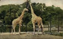 zoo001102 - Giraffes, New York Zoological Park New York, USA Postcard Post Cards Old Vintage Antique