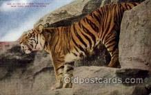 zoo001113 - Malay Tiger, New York Zoological Park New York, USA Postcard Post Cards Old Vintage Antique