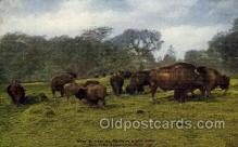 zoo001123 - American Bison Herd, New York Zoological Park New York, USA Postcard Post Cards Old Vintage Antique