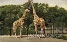 zoo001124 - Giraffes, New York Zoological Park New York, USA Postcard Post Cards Old Vintage Antique