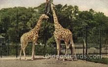 zoo001135 - Giraffes, New York Zoological Park New York, USA Postcard Post Cards Old Vintage Antique